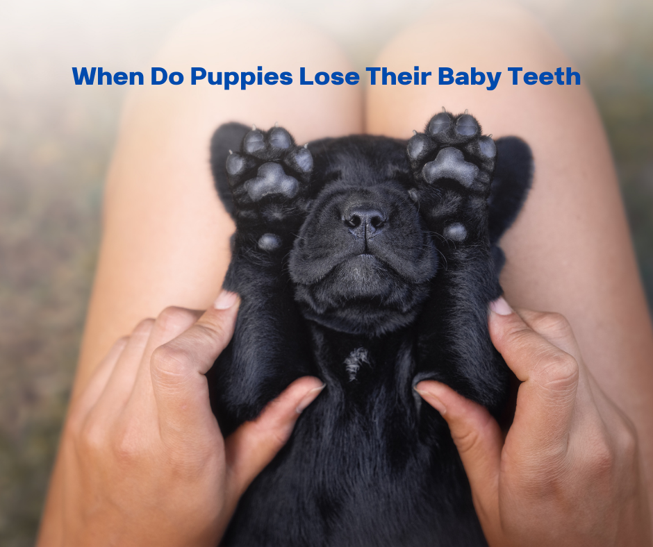 When Do Puppies Lose Their Baby Teeth