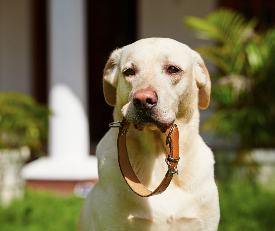 How to Train a Dog with a Shock Collar?
